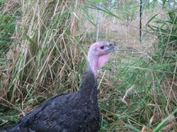 Free Range Turkeys Available for Thanksgiving!